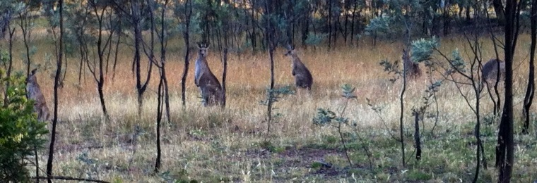 Just five of the estimated 200 eastern grey kangaroos I rode past